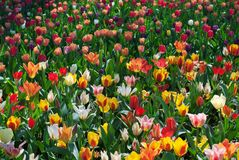 Spring tulips in field. Colorful tulips in field. at springtime sunny day stock image