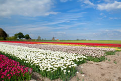 Colorful tulips on field and windmill Royalty Free Stock Photography