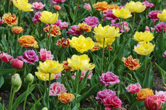 Colorful tulips. In flower bed Stock Photography