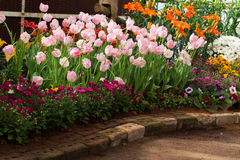 Colorful tulips flower blooming in garden Royalty Free Stock Image