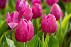 Colorful tulips flower blooming in garden Stock Photography