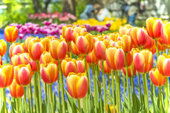 Colorful tulips in flower garden Royalty Free Stock Photography