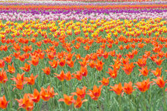 Colorful tulips in flower garden Stock Image