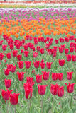 Colorful tulips in flower garden Royalty Free Stock Photo