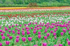Colorful tulips in flower garden Royalty Free Stock Image