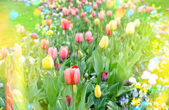 Colorful tulips on flowerbed. Yellow and red blossoms outdoors Royalty Free Stock Photo