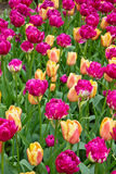 Colorful tulips flowerbeds Stock Image