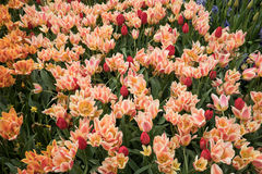 Colorful tulips flowers blooming in a garden. Stock Photos