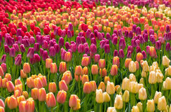 Colorful tulips flowers blooming in a garden. Stock Photography