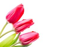 Colorful tulips flowers isolated on white background with free space. Mothersday or spring concept. Colorful tulips flowers isolated on white background with Royalty Free Stock Images