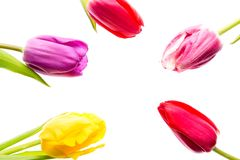 Colorful tulips flowers isolated on white background with free space. Mothersday or spring concept. Colorful tulips flowers isolated on white background with Stock Image