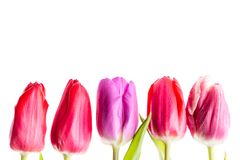 Colorful tulips flowers in a row isolated on white background with free space. Mothersday or spring concept. Colorful tulips flowers in a row isolated on white Royalty Free Stock Images
