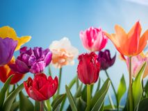 Colorful tulips flowers spring background stock photography