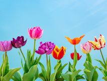 Colorful tulips flowers spring background royalty free stock photos