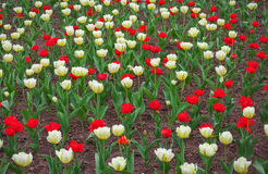 Colorful tulips flowers in springtime. Stock Photography