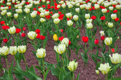 Colorful tulips flowers in springtime. Stock Images