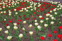 Colorful tulips flowers in springtime. Stock Photo