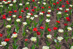 Colorful tulips flowers in springtime. Stock Image