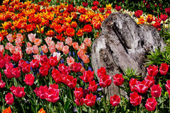 Colorful Tulips Flowers Wood Washington Royalty Free Stock Photo