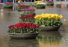 Colorful tulips flowres in the pond in front of the Rijksmuseum in Amsterdam. Royalty Free Stock Image