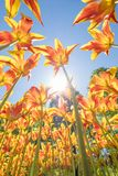Tulips with beautiful colors directed towards the sun Stock Images