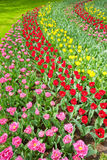 Colorful tulips in full bloom Stock Photo