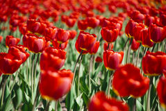 Colorful Tulips in Garden Stock Images