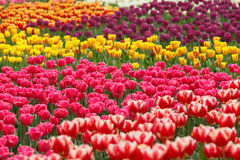 Colorful tulips in the garden Royalty Free Stock Photography
