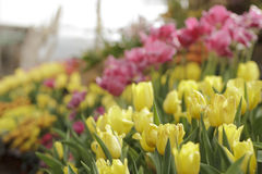 Colorful tulips in garden Royalty Free Stock Image