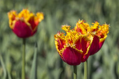 Colorful tulips. In a garden Royalty Free Stock Photography