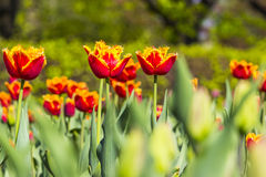Colorful tulips. In a garden Stock Photo