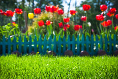 Colorful tulips in the garden on backgound. With grenn grass on foreground Royalty Free Stock Photo