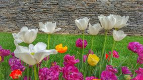 Colorful tulips garden. Beautiful and colorful tulips garden with historical stone wall at background Royalty Free Stock Photo