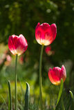 Colorful tulips in the garden on bright summer sun Royalty Free Stock Photography