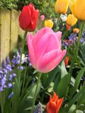 Colorful tulips in garden. Close up of pink, red and yellow tulips blooming in sunny garden next to wooden fence Stock Images