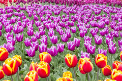 Colorful Tulips Garden Patchwork Royalty Free Stock Photos