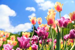 Colorful tulips in a garden Stock Image