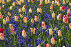 Colorful tulips and  grape hyacinth blooming in a garden Royalty Free Stock Images