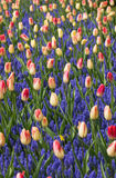 Colorful tulips and  grape hyacinth blooming in a garden Stock Photo