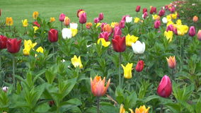 Colorful Tulips Growing stock video