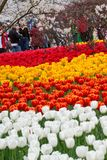 Colorful tulips in Hangzhou park. A field with colourful tulips in a park in Hangzhou, China stock images