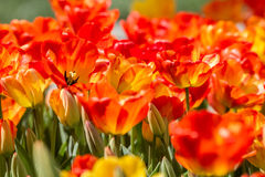 Colorful Tulips at Hidiv, Istanbul Stock Photography