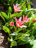 Colorful tulips in the home garden. Beautiful spring tulip flowers in the garden Royalty Free Stock Images