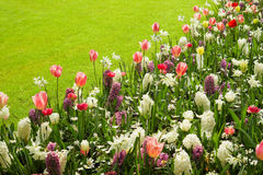 Colorful tulips, hyacinths and daffodils in spring Stock Photos