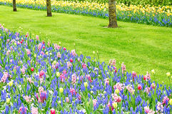 Colorful tulips and hyacinths on a garden floor Royalty Free Stock Image