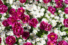 Colorful tulips, hyacinths, lily, hydrangeas, muscari flowers in spring park. Stock Photos