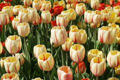 Colorful tulips. Illuminated by the rays of the spring sun Stock Images