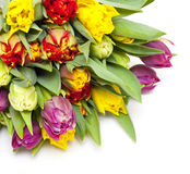 Colorful tulips isolated Royalty Free Stock Photos