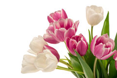Colorful tulips isolated. Colorful tulips isolated on the white background Royalty Free Stock Photography