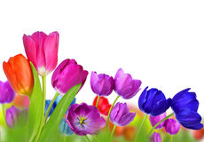 Colorful tulips Stock Image